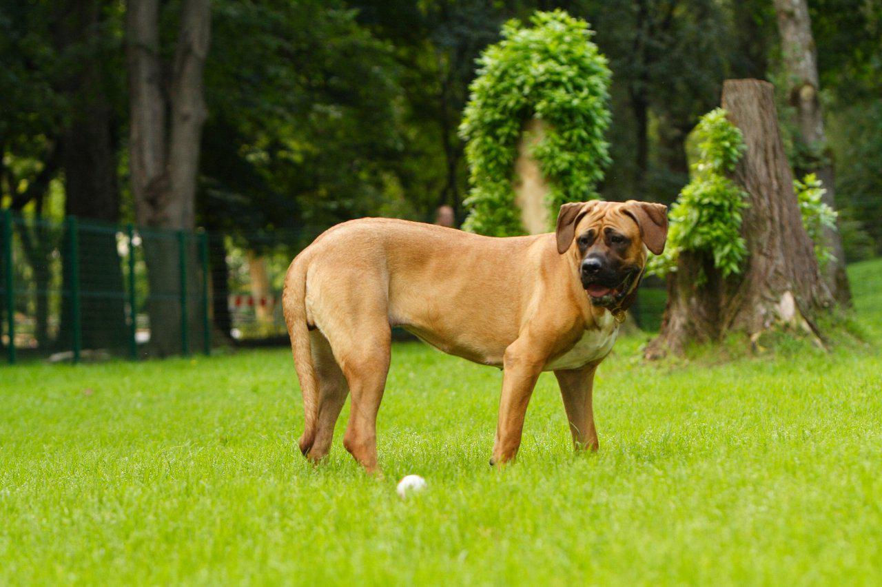Tosa Dog: Tosa Tosa Dog And Ball Breed