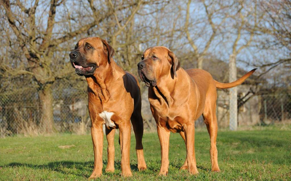 Tosa Puppies: Tosa Tosa Inu Dog Couple Standing On Field Puppies Breed