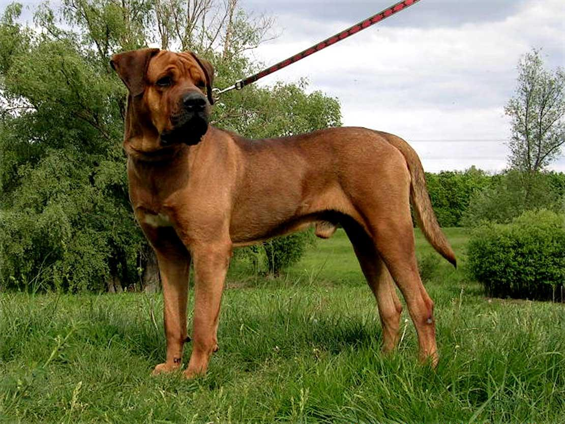Tosa Dog: Tosa Tosa Inu Japanese Fighting Dog Breed