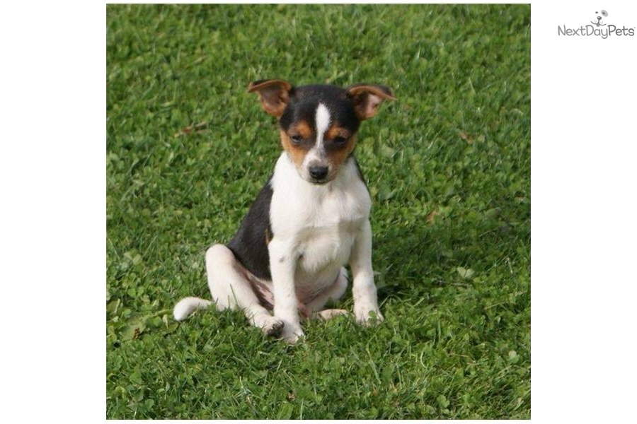 Toy Fox Terrier Puppies: Toy Afbd B Breed