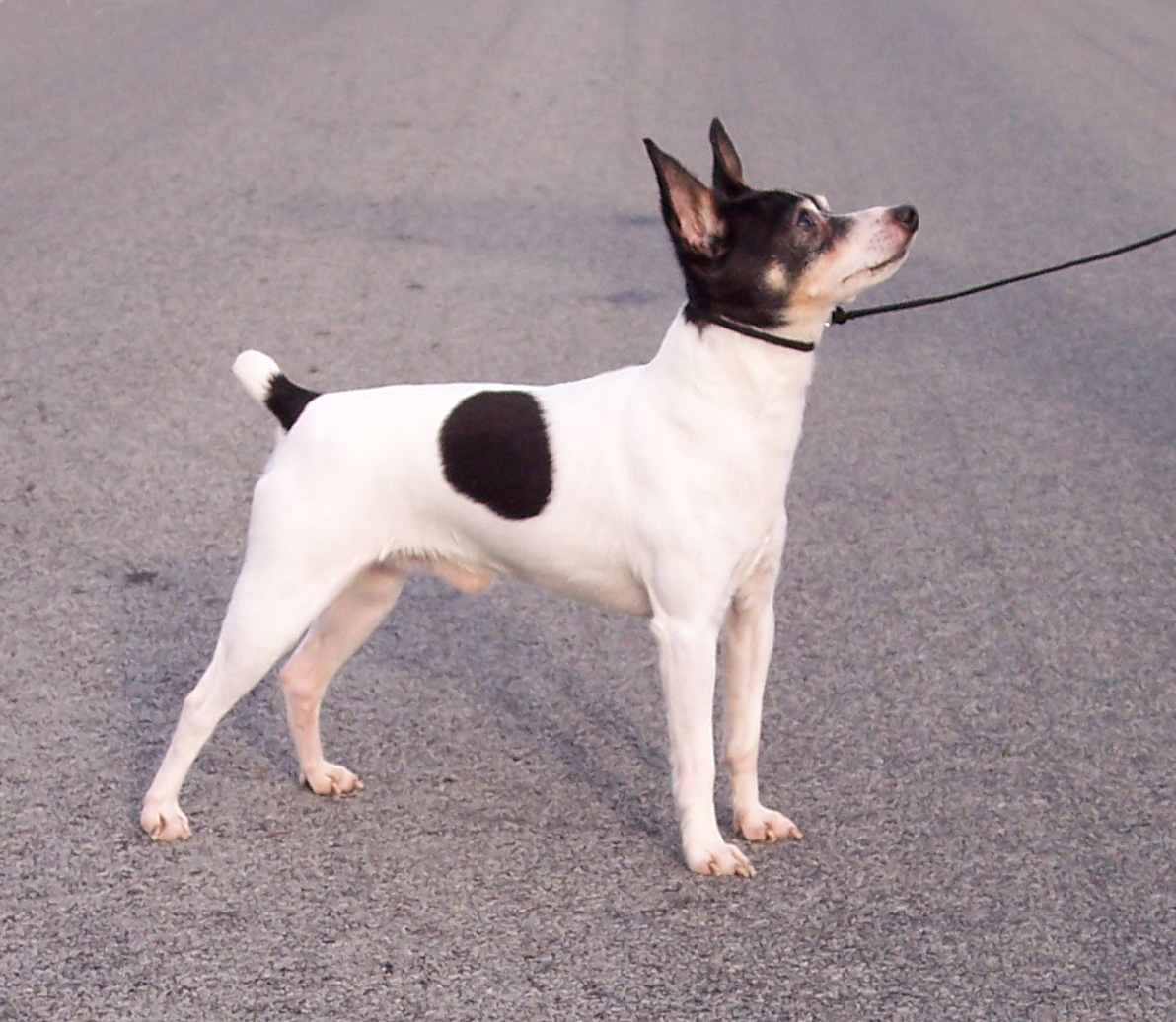 Toy Fox Terrier Dog: Toy Amarikan Toy Teryesi Breed