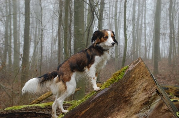 Toy Trawler Spaniel Dog: Toy Anyone Have Heard Kooikerhondje Breed