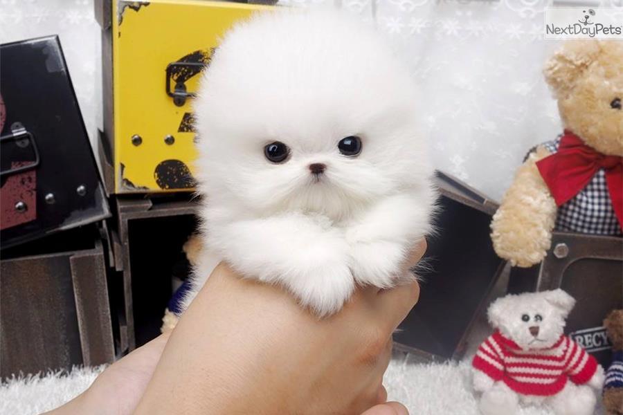 Toy Trawler Spaniel Puppies: Toy Arplaninac Breed
