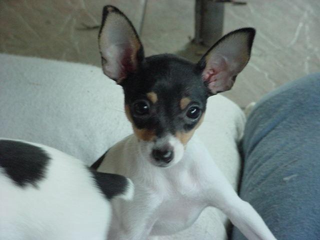 Toy Fox Terrier Puppies: Toy Barbs Scrapbook Breed