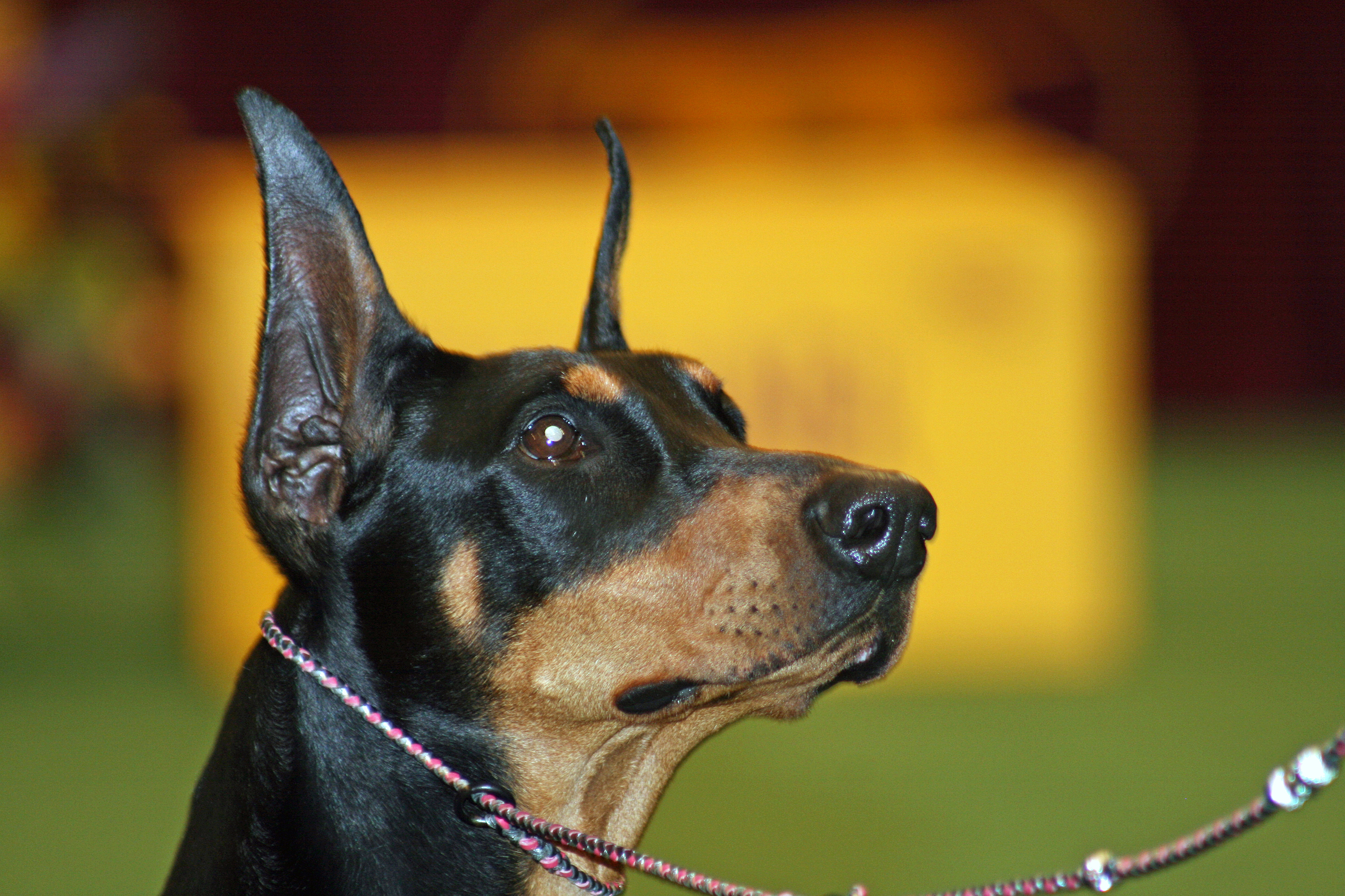 Toy Manchester Terrier Dog: Toy Beautiful Toy Manchester Terrier Dog Breed