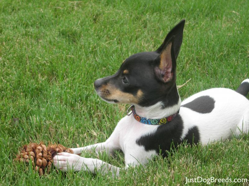Toy Fox Terrier Dog: Toy Breeds Small Dogs Best Dog Toy Fox Terrier