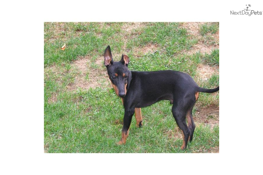 Toy Manchester Terrier Puppies: Toy Ceab Cc Breed