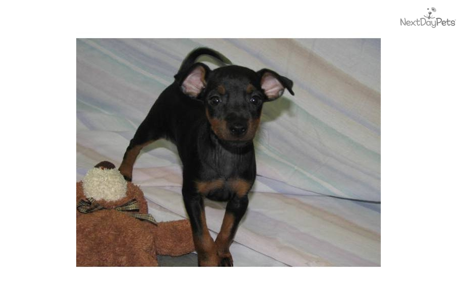 Toy Manchester Terrier Puppies: Toy Cfdc B Breed