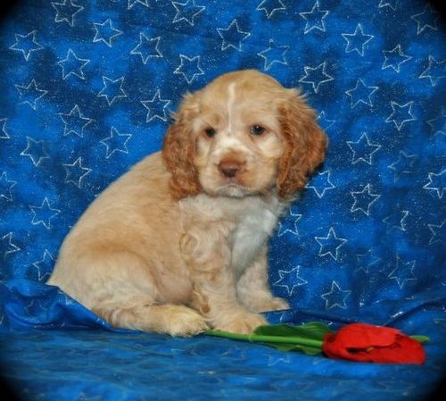 Toy Trawler Spaniel Puppies: Toy Collie Rough Breed