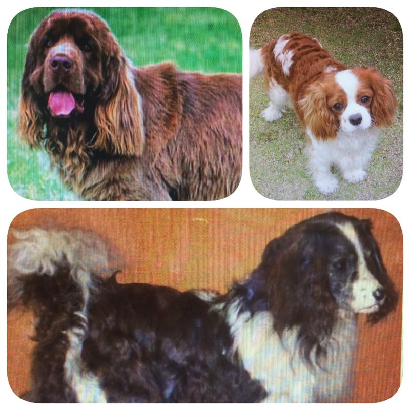 Toy Trawler Spaniel Dog: Toy Conheca Cinco Racas Extintas Breed