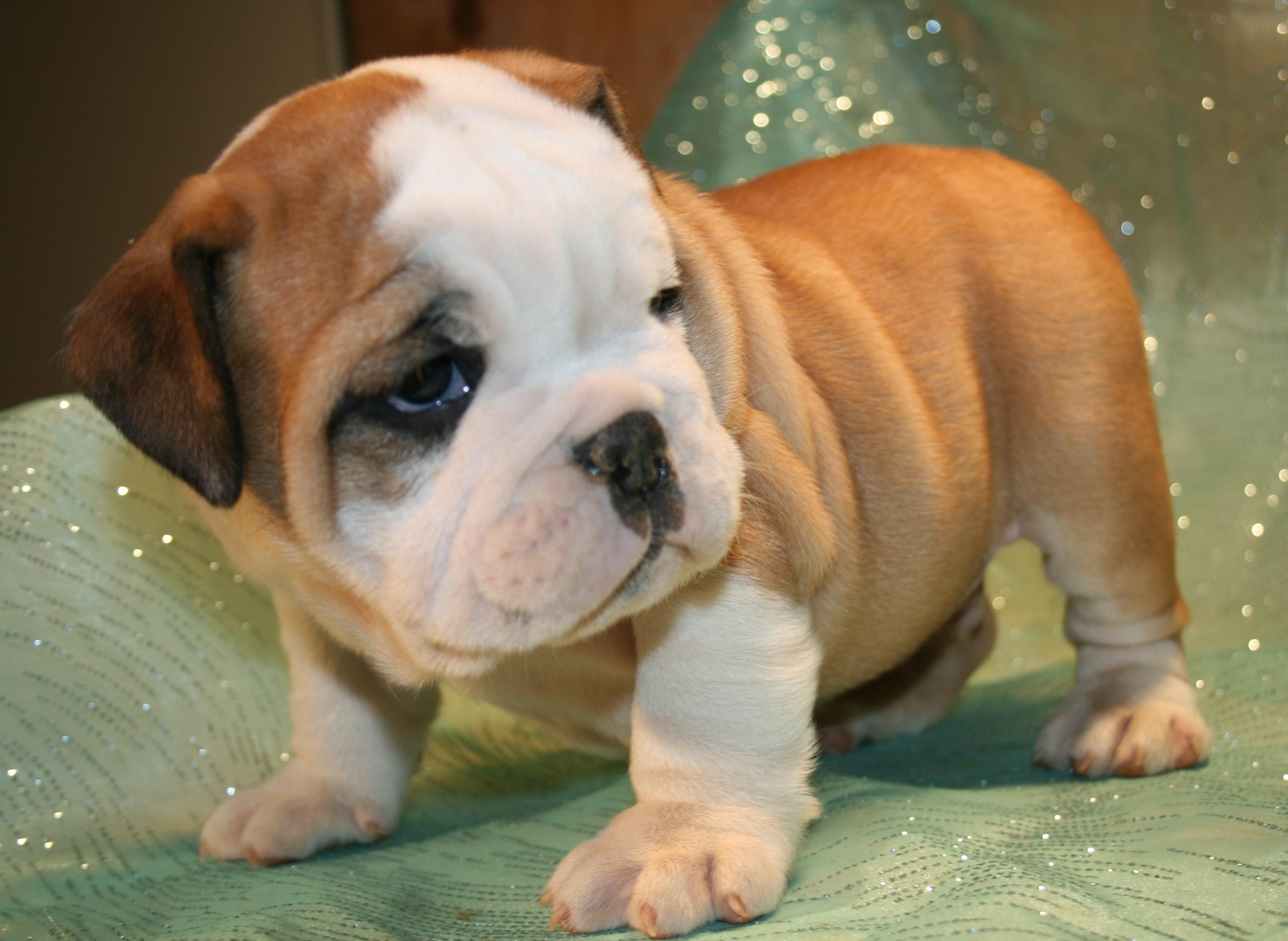 Toy Bulldog Puppies - Puppy Dog Gallery