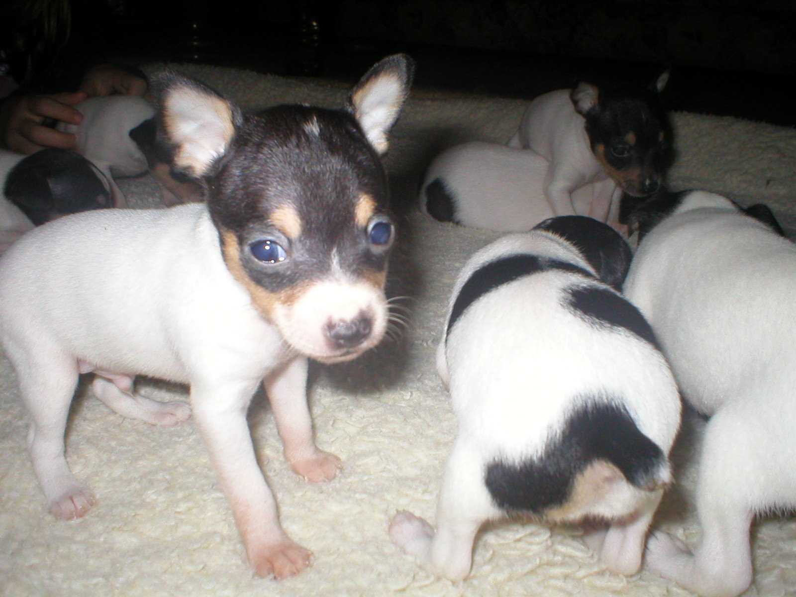 Toy Fox Terrier Puppies: Toy Ctadstoyfoxterriersad Breed