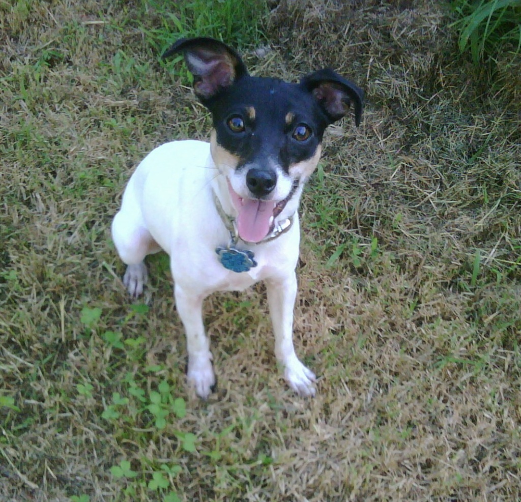 Toy Fox Terrier Dog: Toy Cute Toy Fox Terrier Dog Looking You Breed