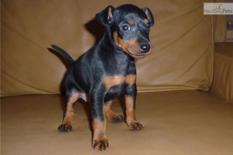 Toy Manchester Terrier Puppies: Toy Daa A Breed