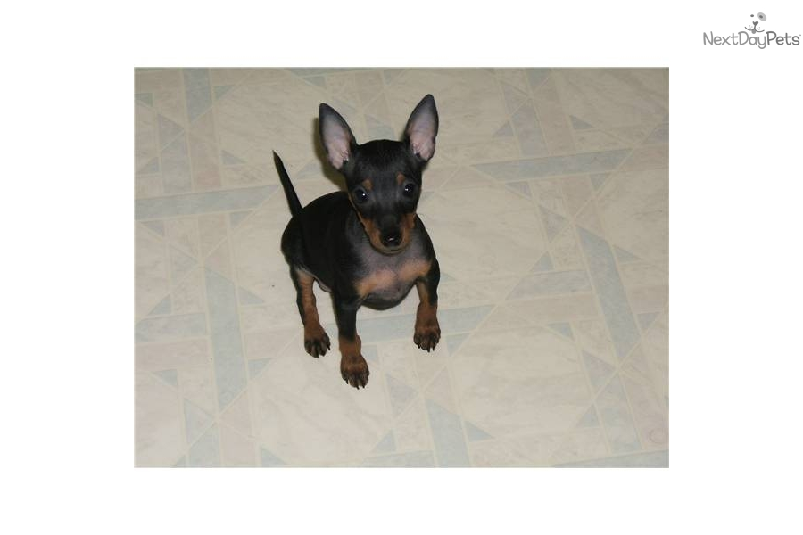 Toy Manchester Terrier Puppies: Toy Faba Breed