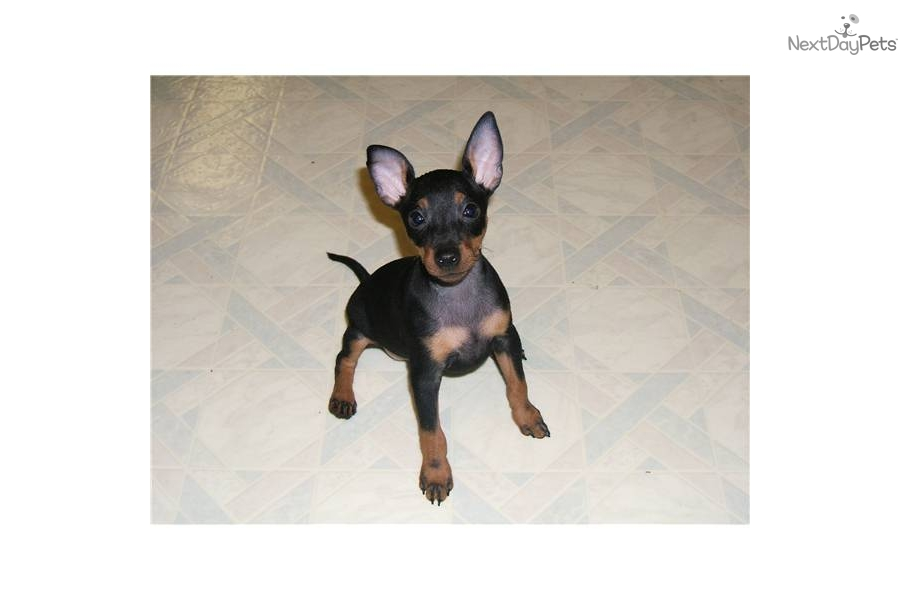 Toy Manchester Terrier Puppies: Toy Fefd B Breed