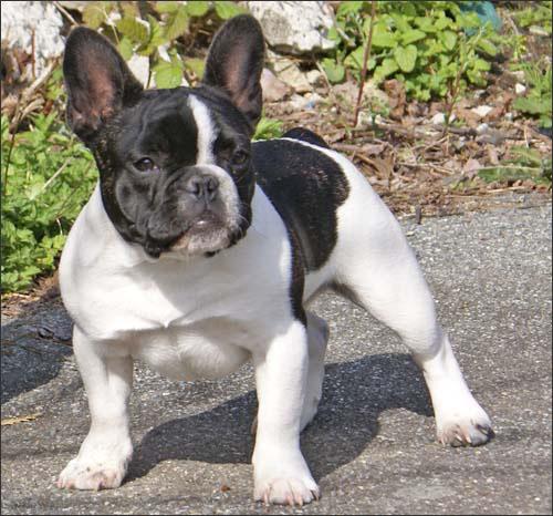 Toy Bulldog Dog: Toy French Bulldog Breed