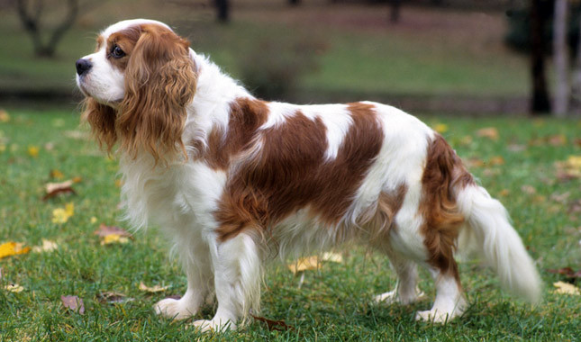 Toy Trawler Spaniel Puppies: Toy King James Spaniel Breed