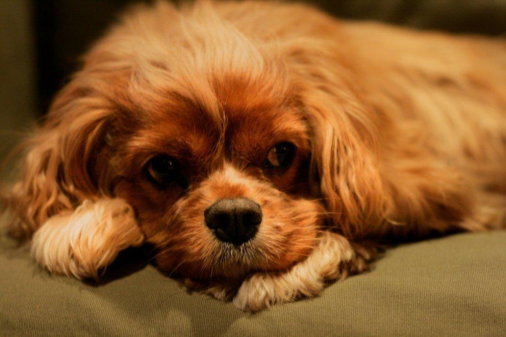 Toy Trawler Spaniel Puppies: Toy Kingcharlesspaniel Breed