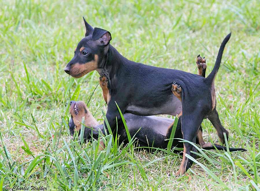 Toy Manchester Terrier Puppies: Toy Manchesters Breed