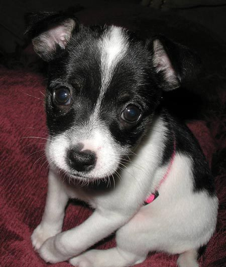 Toy Fox Terrier Dog: Toy Margay The Toy Fox Terrier Breed