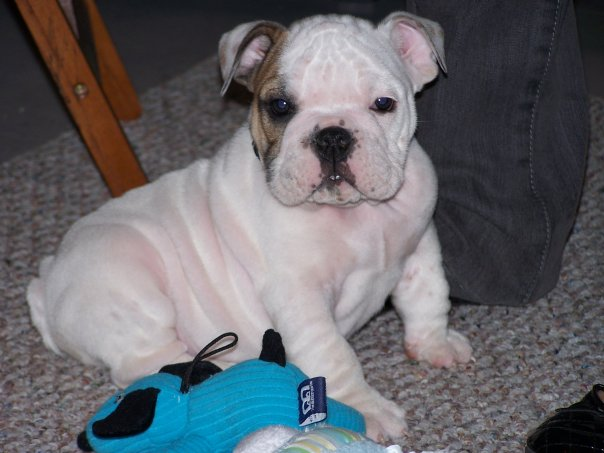 Toy Bulldog Puppies: Toy Past Puppies Breed