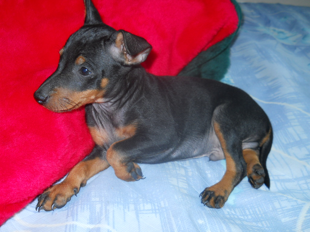Toy Manchester Terrier Puppies: Toy Puppies Breed