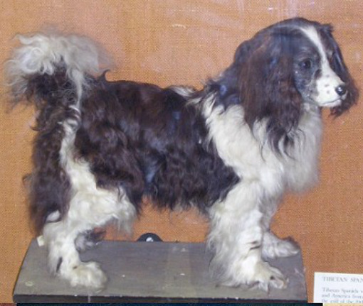 Toy Trawler Spaniel Dog: Toy Racas De Cachorros Extintos Breed