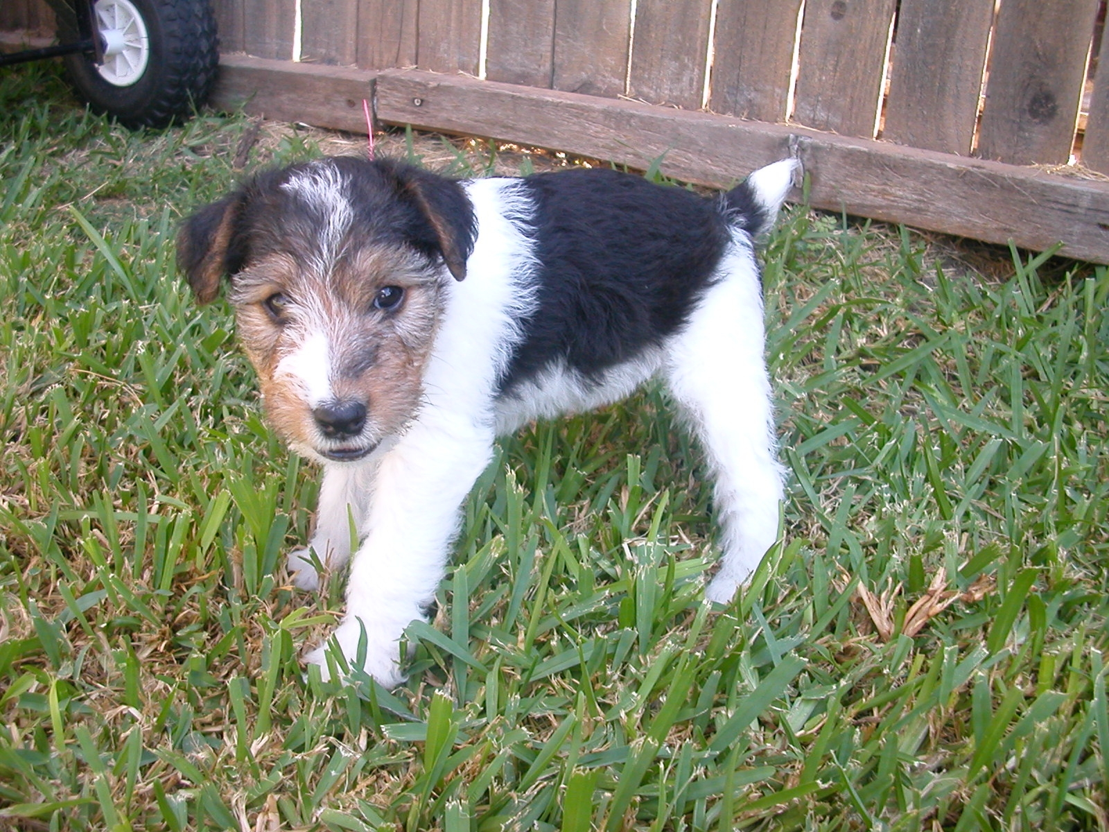 Toy Fox Terrier Puppies: Toy Smooth Toy Fox Terrier Puppies Breed
