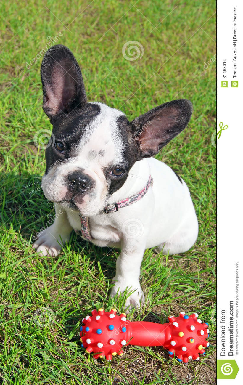 Toy Bulldog Puppies: Toy Stock S French Bulldog Puppy Dog Toy Green Grass Breed