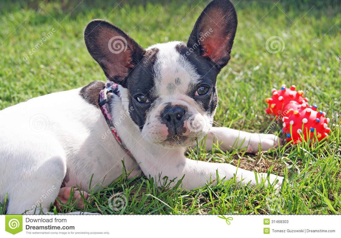 Toy Bulldog Dog: Toy Stock S French Bulldog Puppy Playing Dog Toy Green Grass Breed