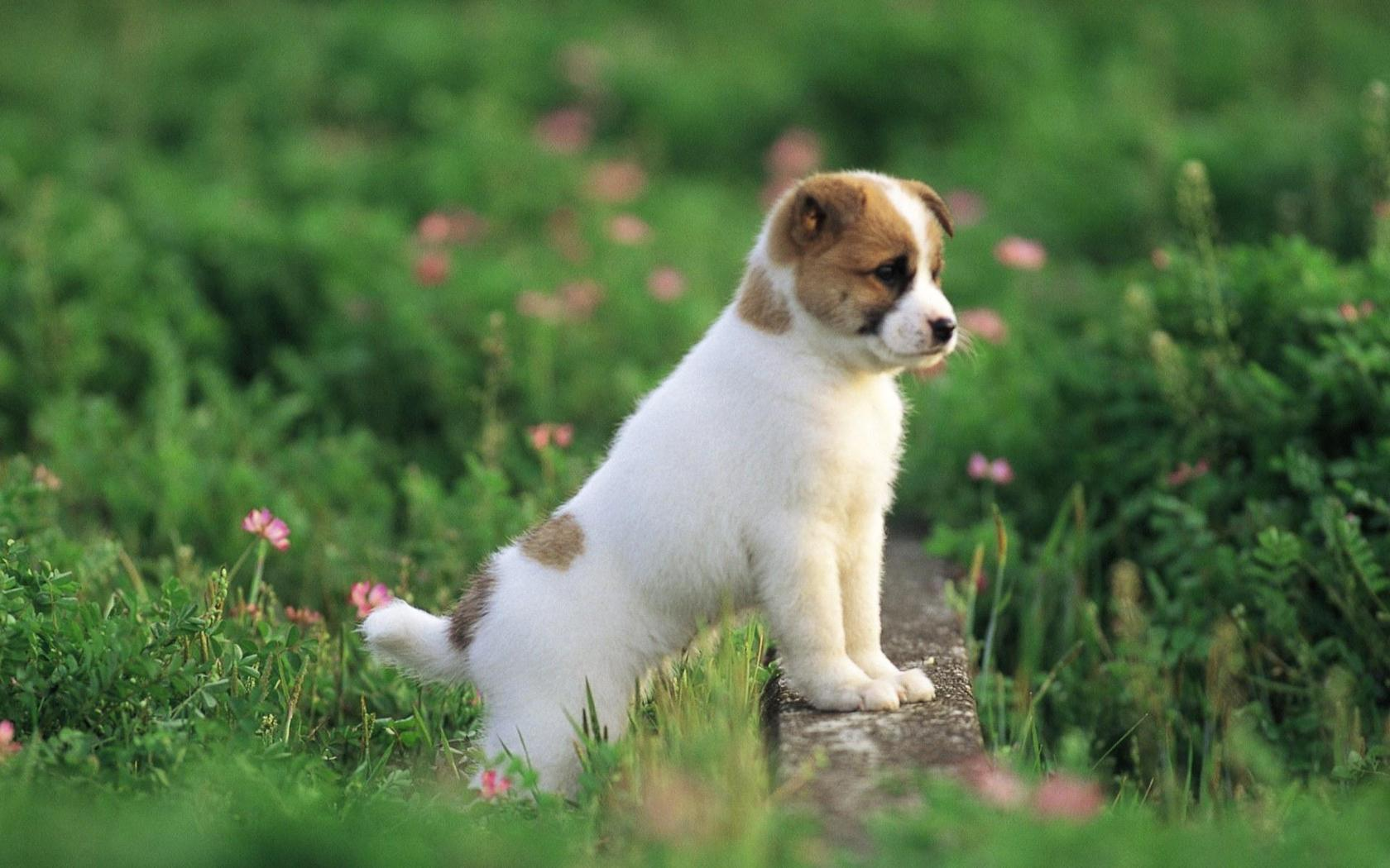 Toy Trawler Spaniel Puppies: Toy Teddy Roosevelt Terrier Puppy Breed
