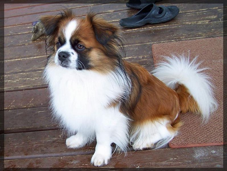 Toy Trawler Spaniel Dog: Toy Tibetan Spaniel Dog Breed