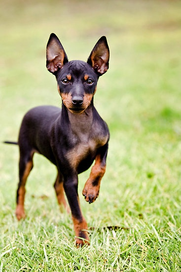 Toy Manchester Terrier Dog: Toy Top Small Tiny Dog Breeds