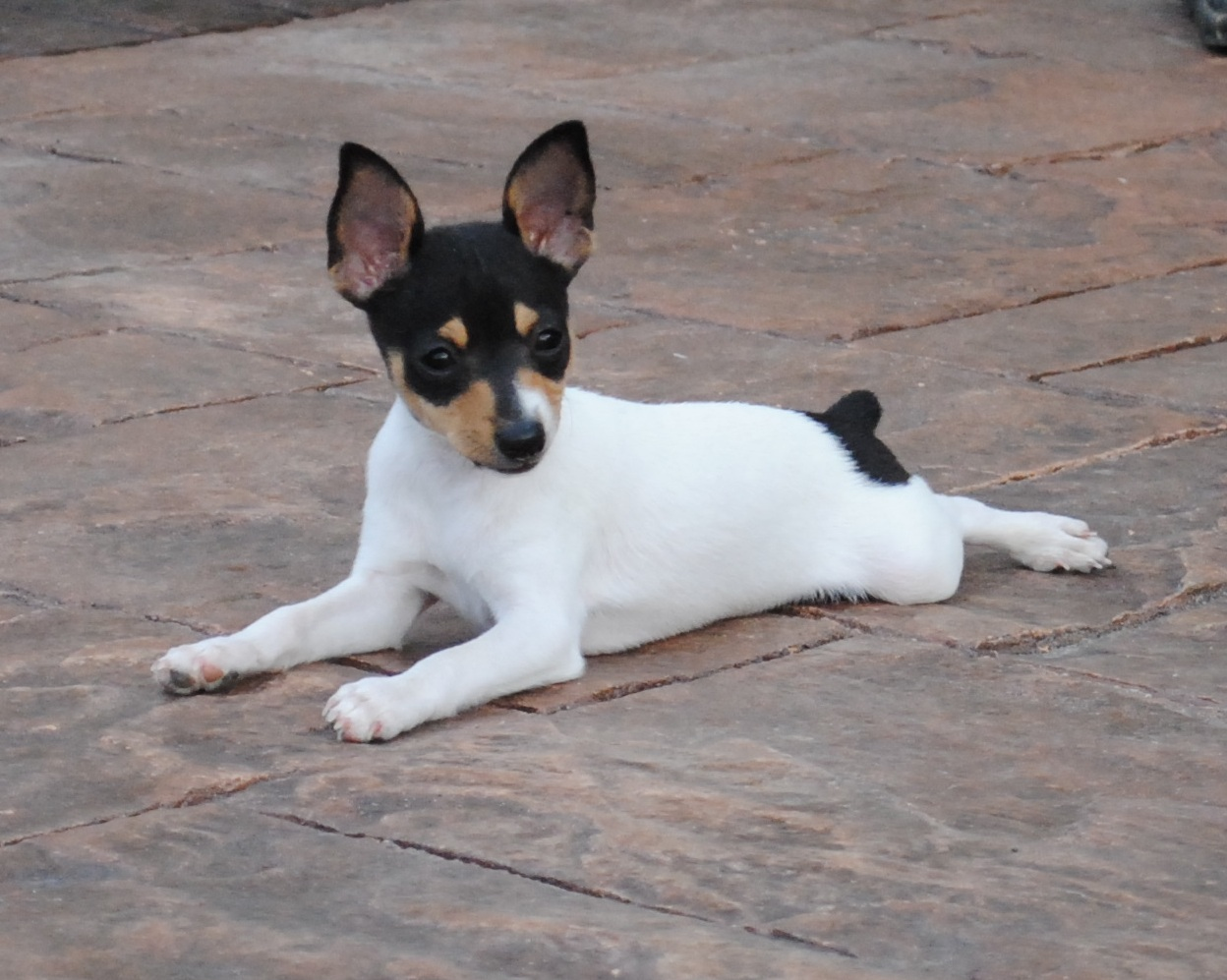 Toy Fox Terrier Puppies: Toy Toy Fox Terrier Breed
