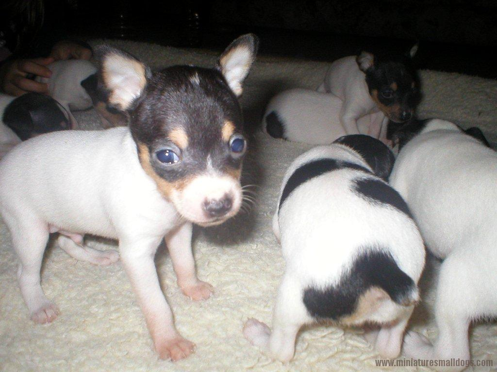 Toy Fox Terrier Dog: Toy Toy Fox Terrier Pictures Breed