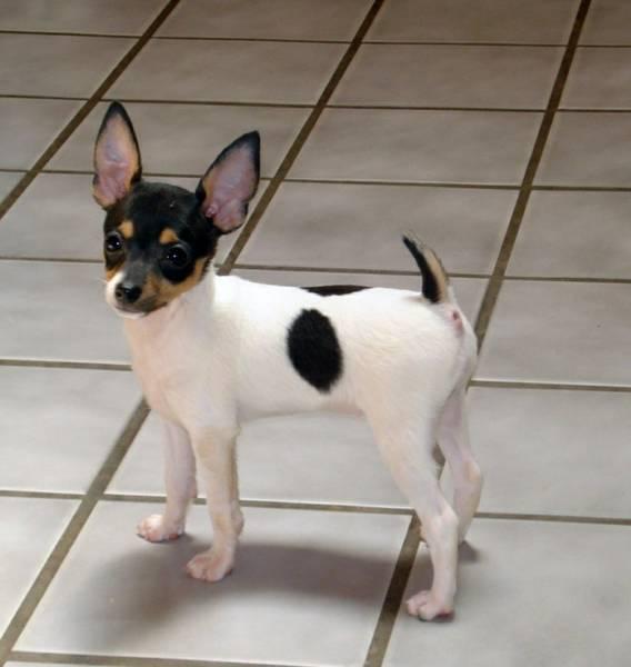 Toy Fox Terrier Puppies: Toy Toy Fox Terrier Puppies Toy Fox Terrier Breeders Toy Fox Terriers