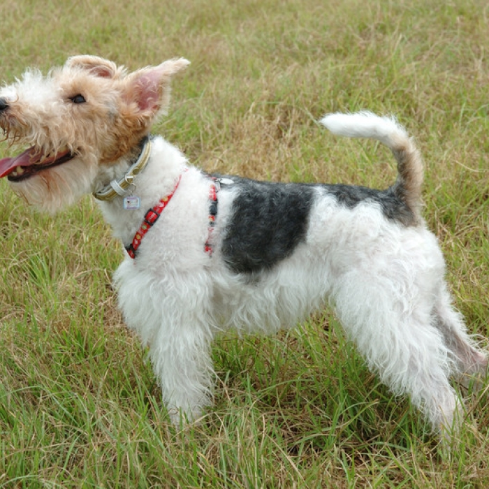 Toy Fox Terrier Puppies: Toy Toy Fox Terrier Viewall Breed