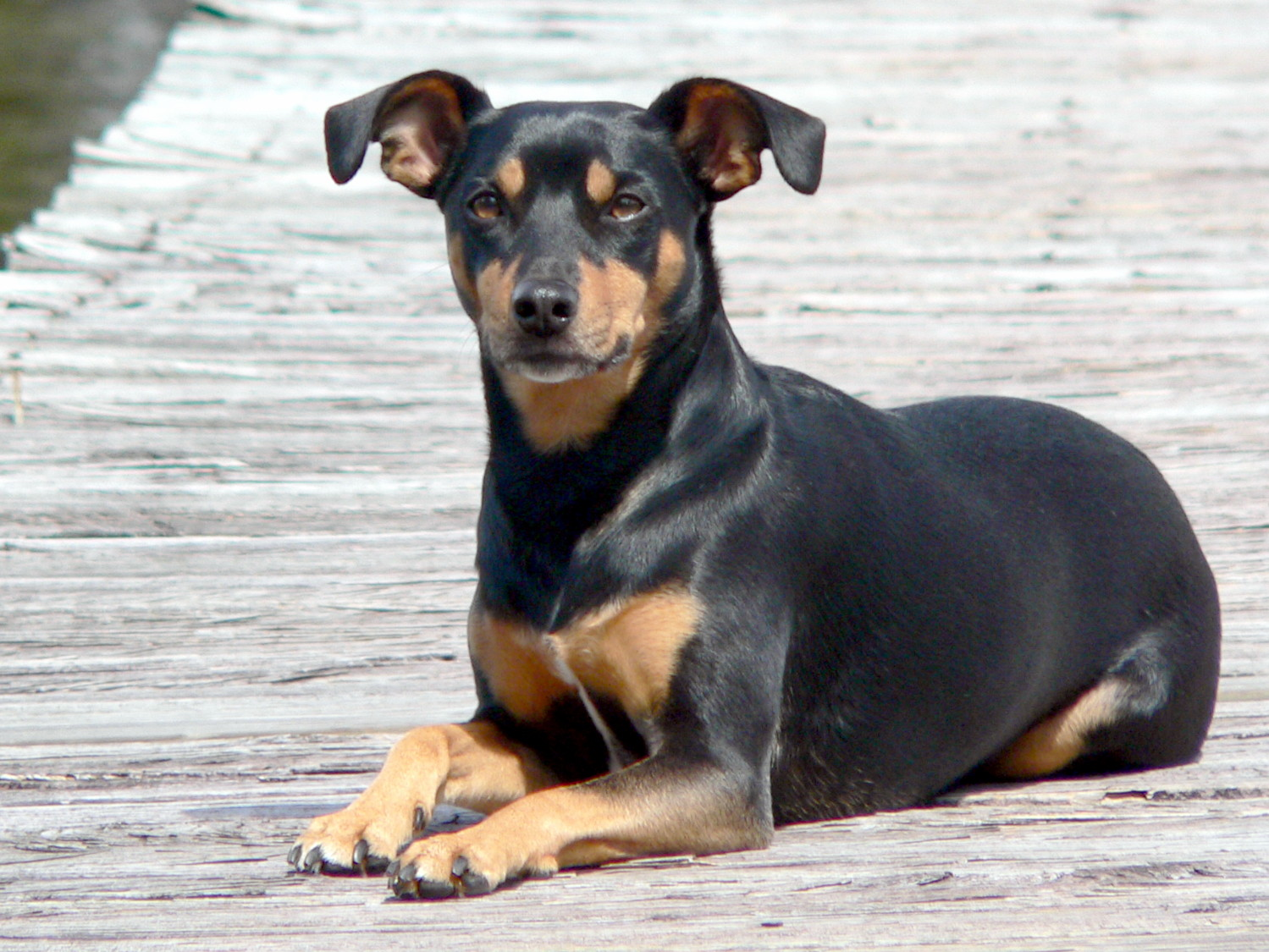 Toy Manchester Terrier Dog: Toy Toy Manchester Terrier Breed