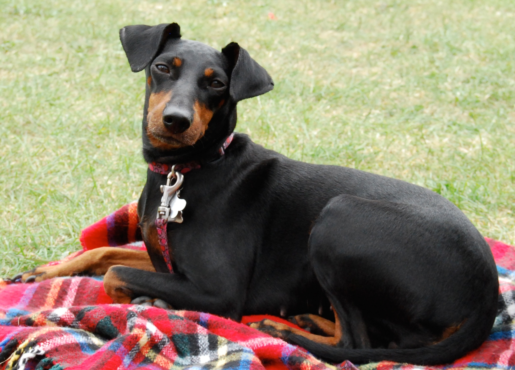 Toy Manchester Terrier Dog: Toy Toy Manchester Terrier Dog On Picnic Breed