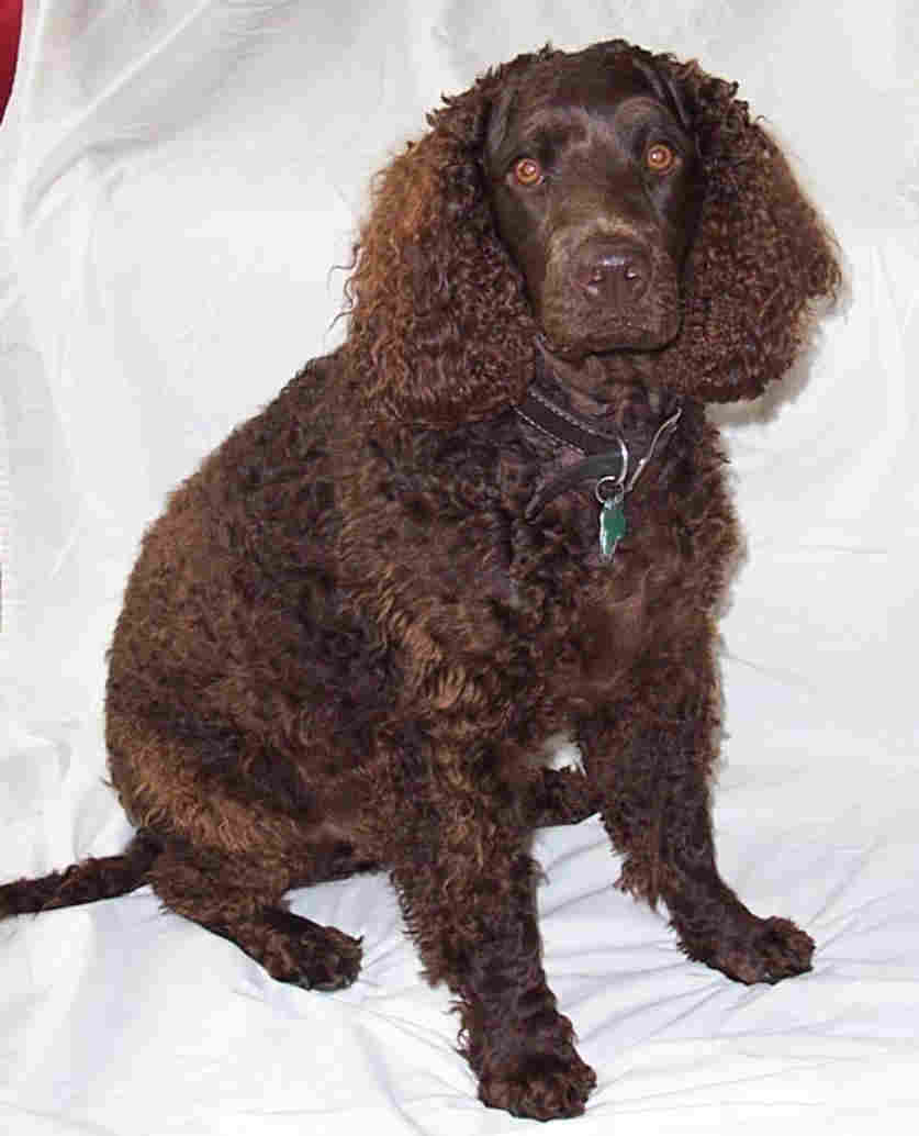 Toy Trawler Spaniel Puppies: Toy Tweed Water Spaniel Dog Breed