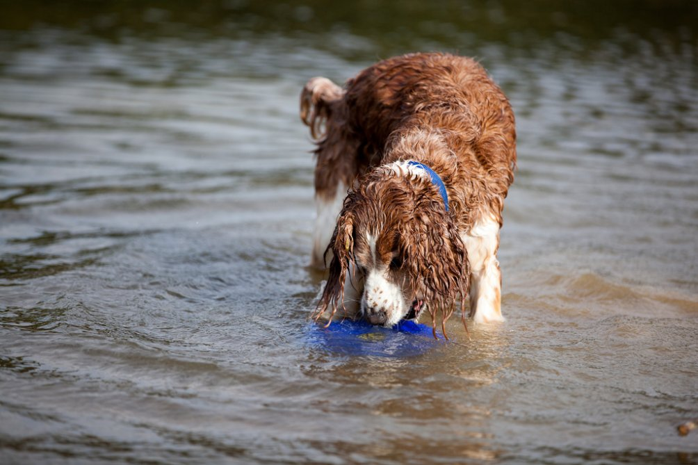 Toy Trawler Spaniel Dog: Toy Welshspringerspaniel Breed