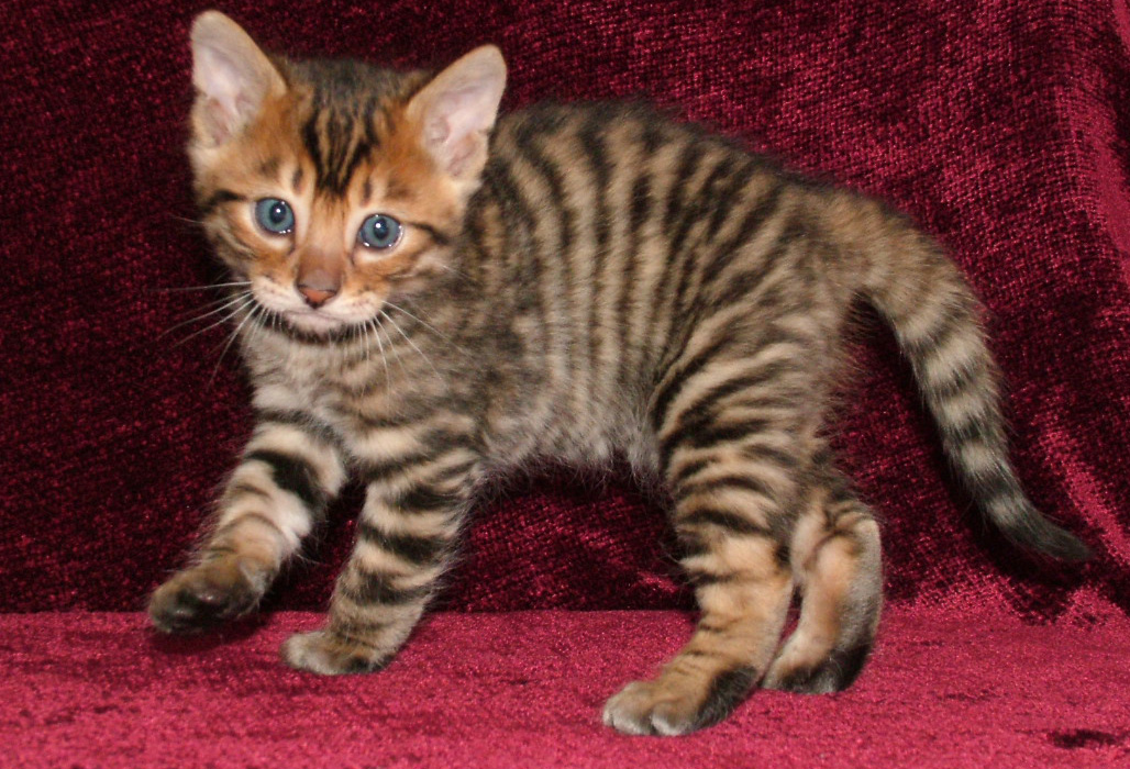 Toyger Kitten: Toyger Breed