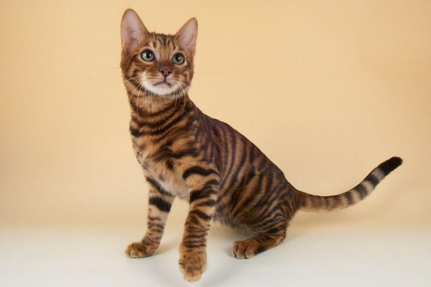 Toyger Kitten: Toyger Dgzvyigtpdhrlbnm Breed