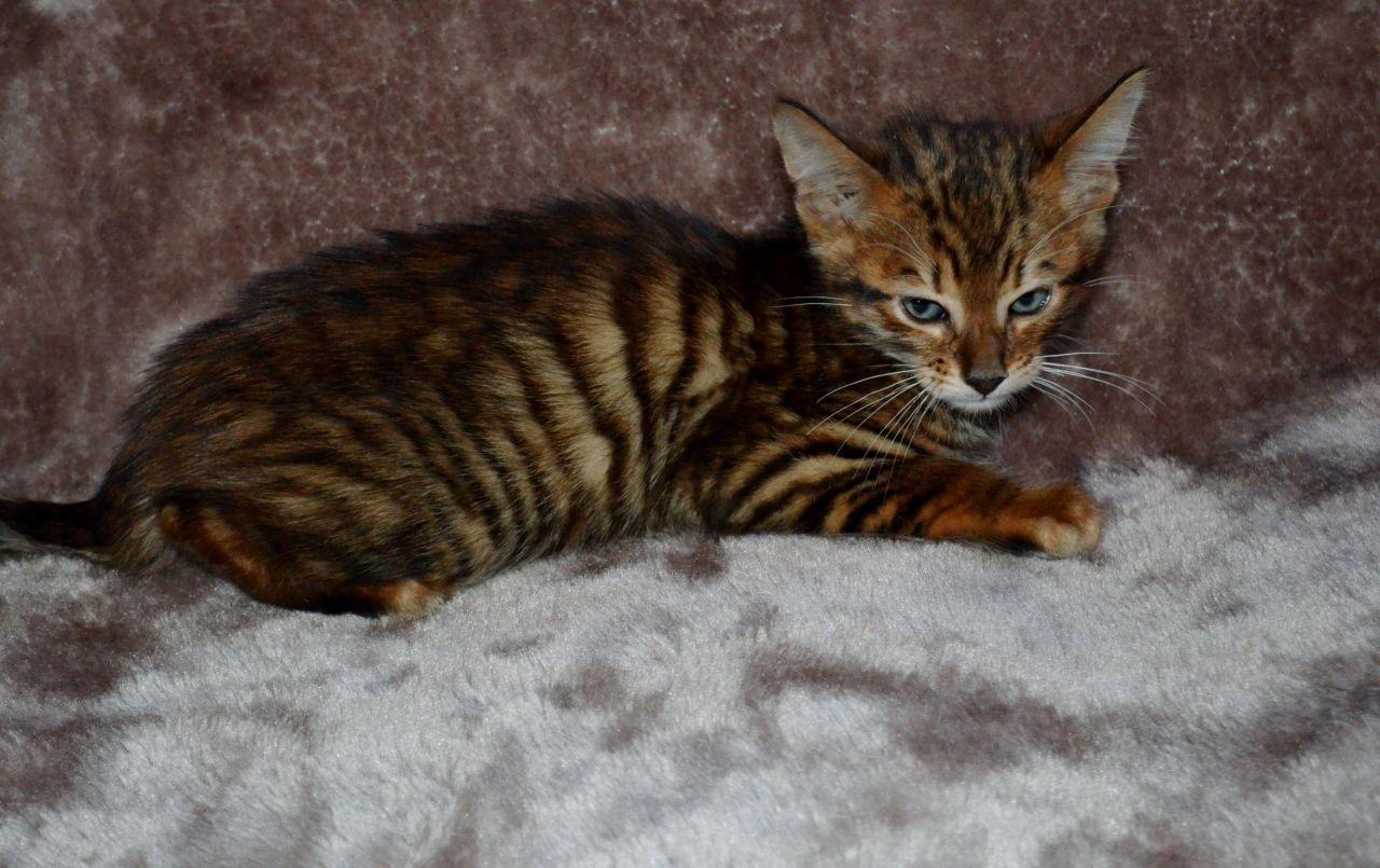 Toyger Cat: Toyger Dgzvylwnhdcpjbawhzvzfgxpzmugbwfnkmpwzwdgzvylwnhdcpjb Breed