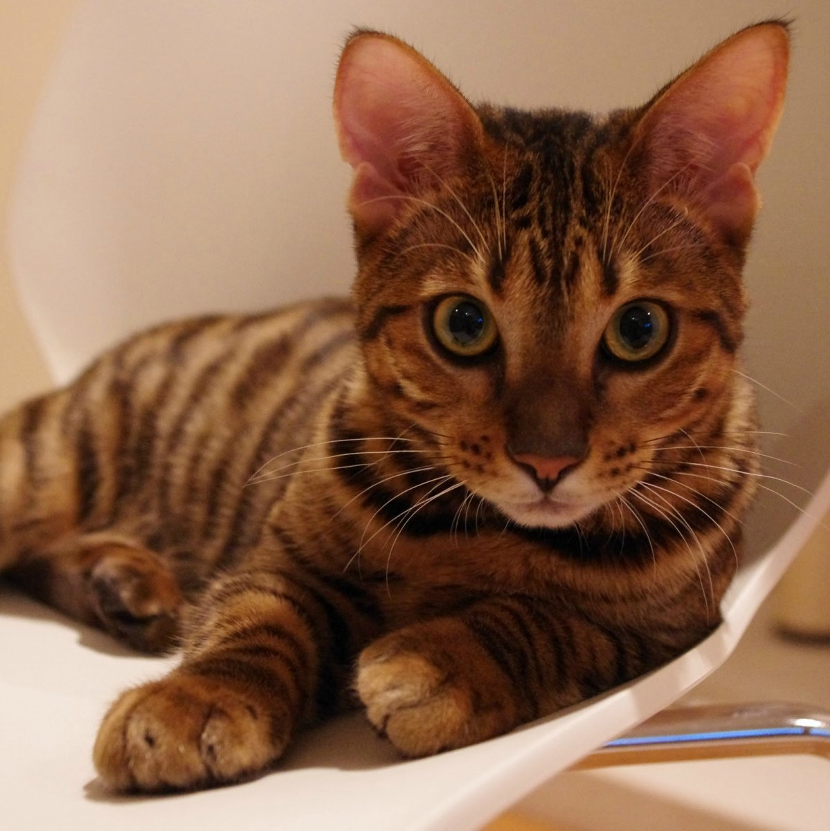 Toyger Cat: Toyger Gato Toyger Breed