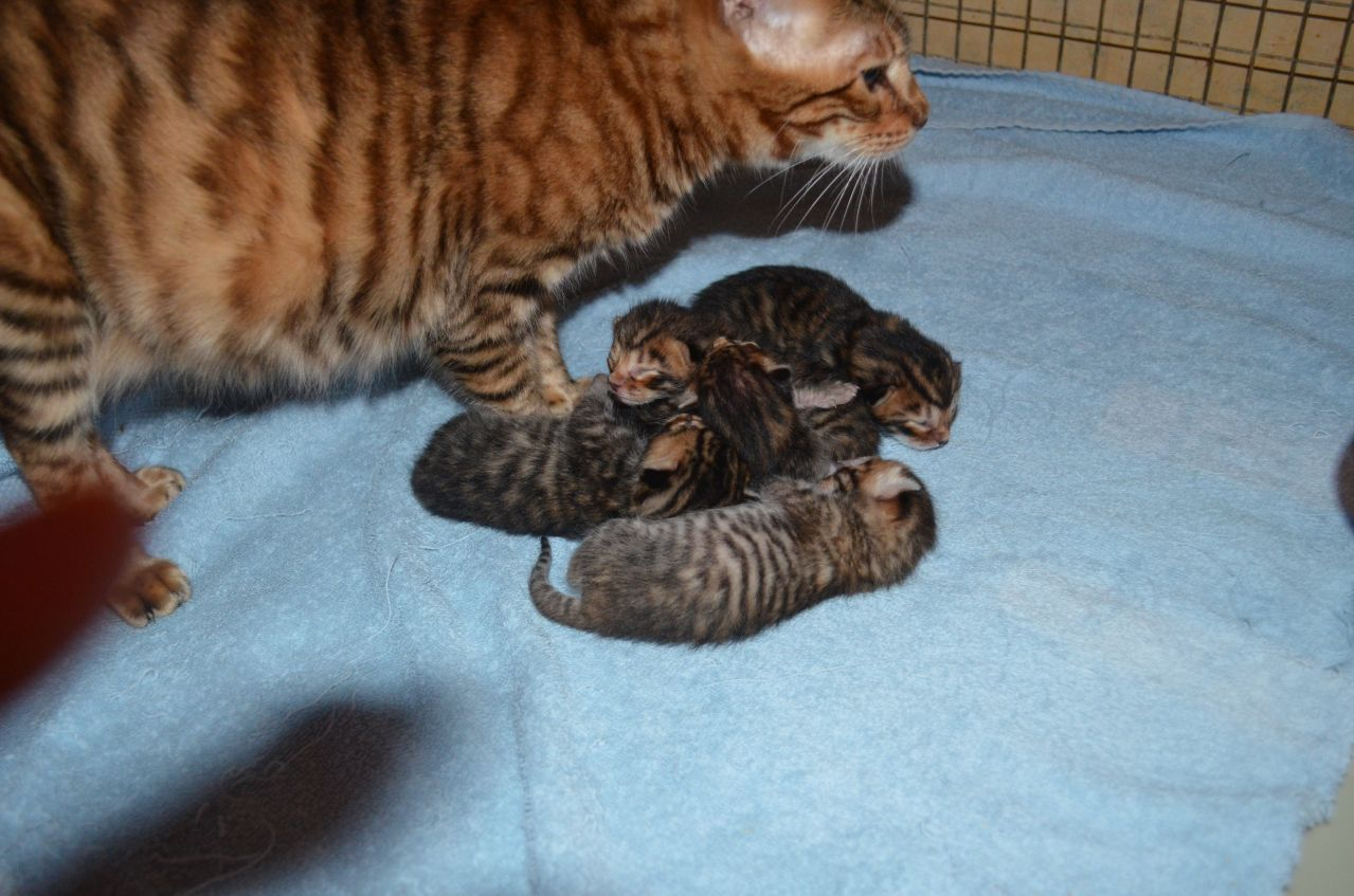 Toyger Kitten: Toyger Mistymogwai Toyger Kittens Brandon Breed