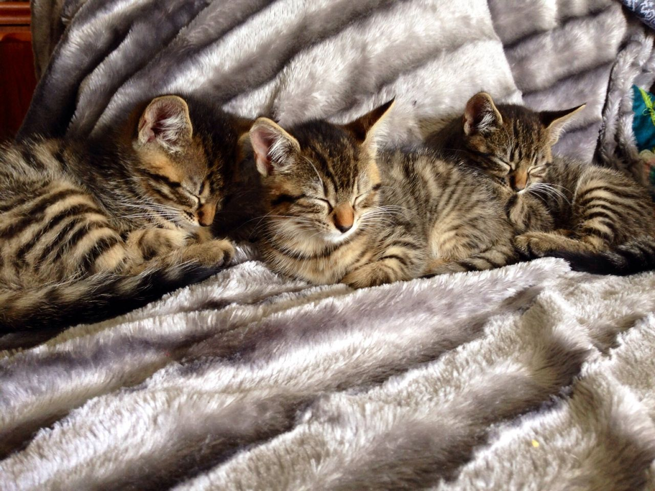 Toyger Kitten: Toyger Search Breed