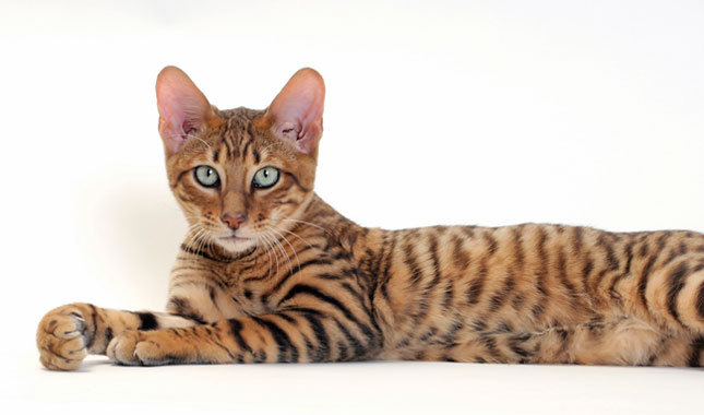 Toyger Cat: Toyger Toyger Breed
