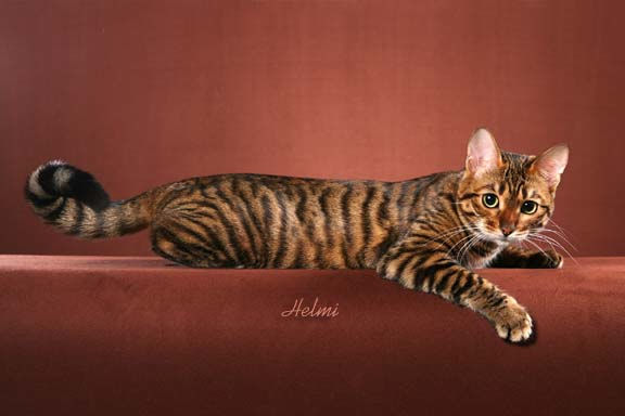 Toyger Cat: Toyger Toyger Cat Profile Breed